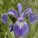 Iris versicolor - Northern Blue Flag